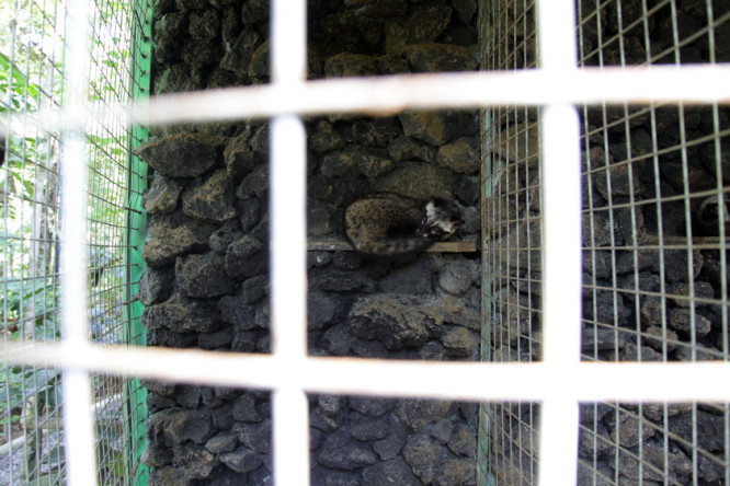 Civet Cat Coffee Plantation - On the list of Top 10 Most Cruel Animal Attractions