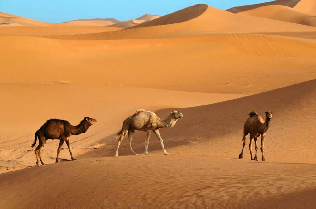 Wild camels instead of domesticated camels being ridden by tourists