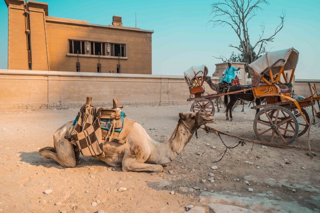 Is camel riding ethical?   Camel Abuse