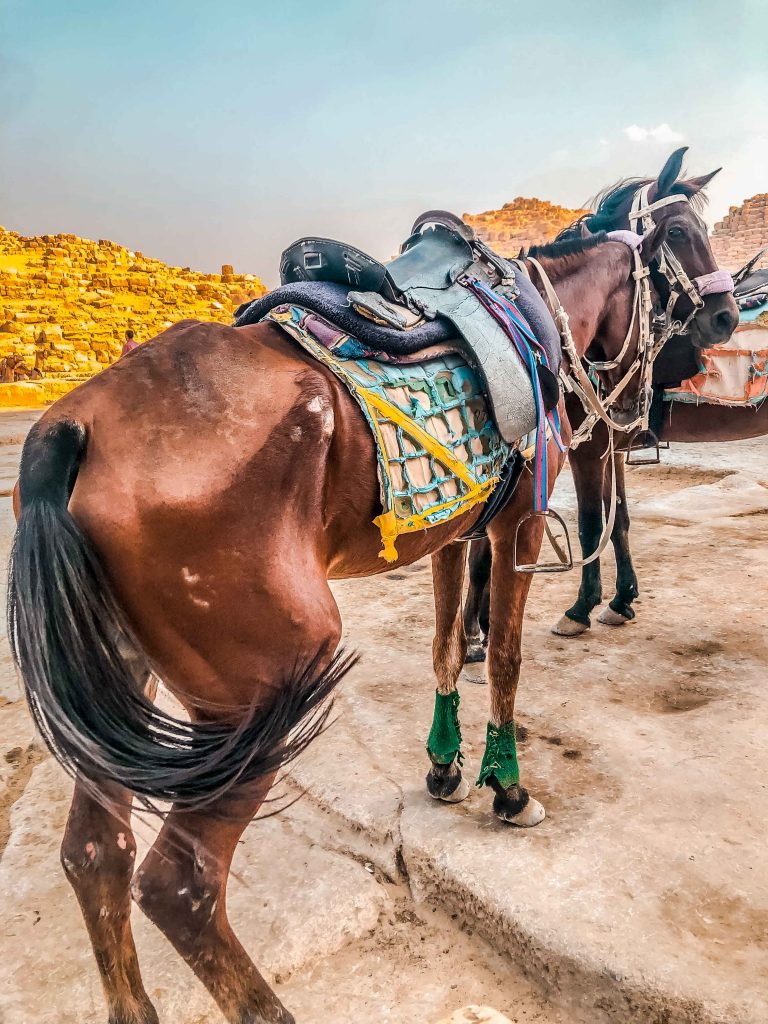 Camels, horses, and donkeys are severely abused at Egypt's tourist sites.