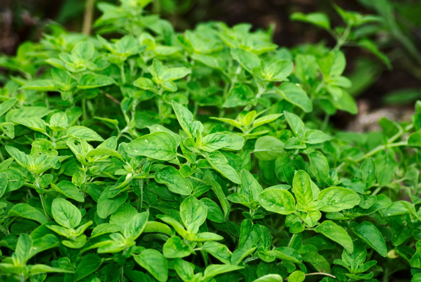 Oregano: Anti-viral Foods That Boost Your Immune System